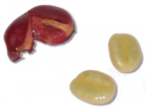 Seed from the Bean